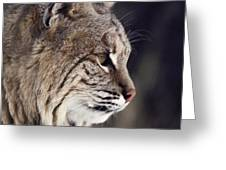 Close-up Of A Bobcat Felis Rufus Greeting Card by Dr. Maurice G. Hornocker