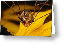 Close View Of A Daddy Longlegs Greeting Card by Darlyne A. Murawski