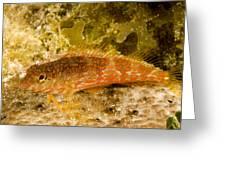 Closeup Of A Saddled Bleny Malacoctenus Greeting Card by Tim Laman