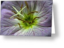 Closeup Of A Showy Evening Primrose Greeting Card by Amy White & Al Petteway