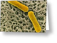 Clostridium Botulinum Bacteria Greeting Card by Cnri