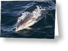 Common Dolphin Delphinus Delphis Greeting Card by Rich Reid