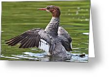 Common Merganser Greeting Card by Ken Simonite