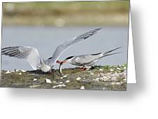 Common Terns Greeting Card by Duncan Shaw