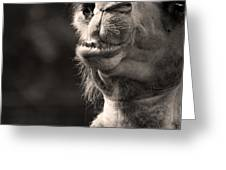 Connoisseur of Fine Humps Greeting Card by Barbara  White