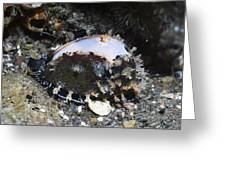 Cowrie On A Reef Greeting Card by Georgette Douwma