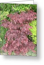 Crimson Waterfall A Japanese Maple Greeting Card by James Collier