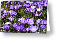 Crocus In Bloom Greeting Card by Thomas R Fletcher