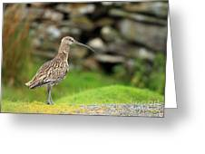 Curlew Greeting Card by Clare Scott
