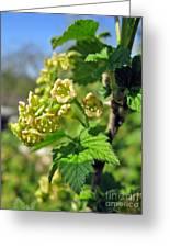 Currant In Bloom Greeting Card by Ausra Paulauskaite
