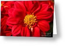 Dahlia Greeting Card by Cheryl Young