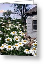 Daises Delight II Greeting Card by Doug Kreuger