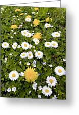 Daisy, Dandelions And Slender Speedwell Greeting Card by Bob Gibbons