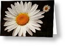 Daisy Dew Greeting Card by Steve Garfield
