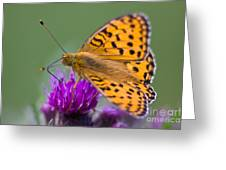 Dark Green Fritillary Argynnis Aglaja Greeting Card by Gabor Pozsgai