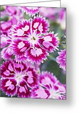 Dianthus Cranberry Ice Flowers Greeting Card by Jon Stokes