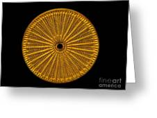 Diatom Alga, Arachnoidiscus Greeting Card by Eric Grave