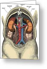 Dissection Of The Abdomen Greeting Card by Science Source