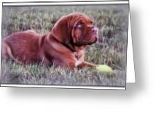 Dogue De Bordeaux Greeting Card by Kay Novy