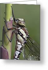 Dragon Fly Greeting Card by Michal Boubin