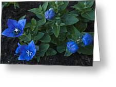 Dwarf Balloon Flower Platycodon Astra Blue 2 Greeting Card by Steve Purnell
