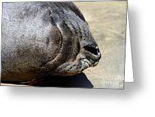 Elephant Seal Snout . 7d16085 Greeting Card by Wingsdomain Art and Photography
