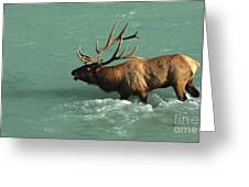 Elk In The Athabasca River Greeting Card by Bob Christopher