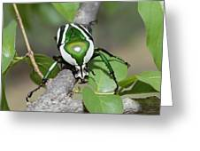 Emerald Fruit Chafer Beetle Greeting Card by Gerry Ellis