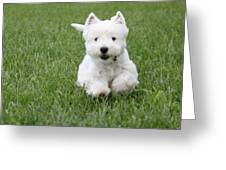 Emma The Westie On The Run Greeting Card by Jon and Chris Zombek