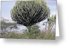Euphorbia Candelabrum Greeting Card by Adrian T Sumner