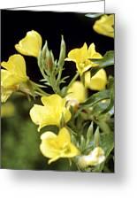 Evening Primroses (oenothera Sp.) Greeting Card by Cristina Pedrazzini