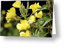 Evening Primroses (oenothera Sp.) Greeting Card by Cristina Pedrazzini