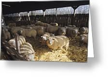 Ewes Greeting Card by David Aubrey