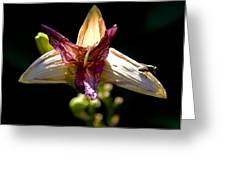 Faded Lily Greeting Card by Michael Friedman