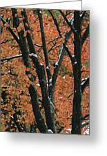 Fall Foliage Of Maple Trees After An Greeting Card by Tim Laman