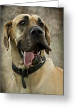 Fawn Great Dane Greeting Card by Ethiriel  Photography