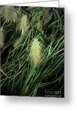 Feathertop Grass (pennisetum Villosum) Greeting Card by Adrian Thomas