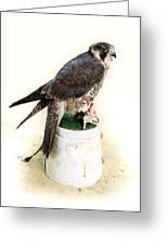 Feeding Falcon Greeting Card by Paul Cowan