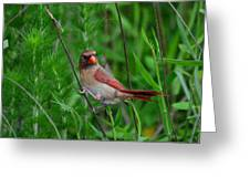 Female Cardinal - C5527a Greeting Card by Paul Lyndon Phillips