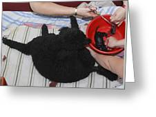 Female Poodle Gives Birth Greeting Card by Photostock-israel