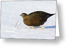 Female Red Grouse In Snow Greeting Card by Duncan Shaw