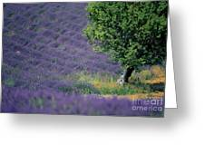 Field Of Lavender Greeting Card by Bernard Jaubert