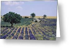 Field Of Lavender. Sault. Vaucluse Greeting Card by Bernard Jaubert