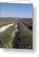 Field Of Lavender. Valensole. Provence Greeting Card by Bernard Jaubert