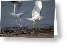 Fighting Gulls Greeting Card by Karol  Livote