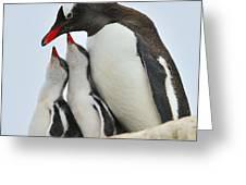 Gentoo Feeding Time Greeting Card by Tony Beck