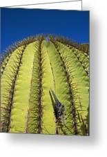 Giant Barrel Cactus Ferocactus Diguetii Greeting Card by Tui De Roy