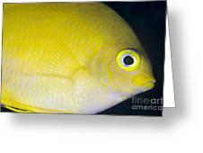 Golden Damsel Close-up, Papua New Greeting Card by Steve Jones