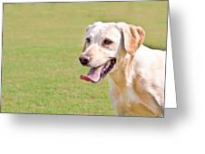Golden Labrador Greeting Card by Tom Gowanlock
