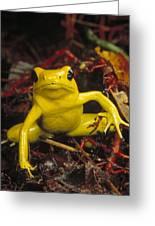 Golden Poison Dart Frog Phyllobates Greeting Card by Mark Moffett